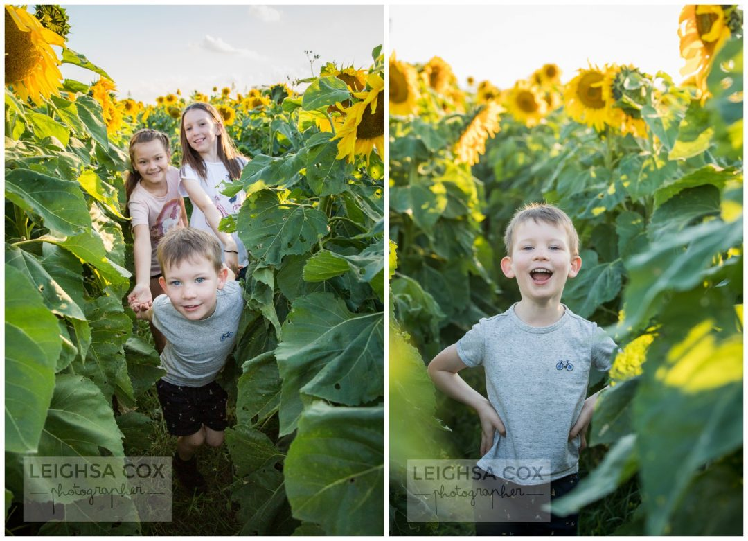 hunter valley sunflowers